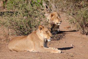 Botswana Wild Cats