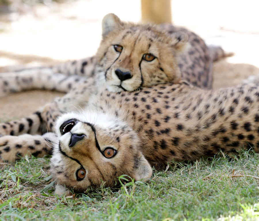 Get Involved with a Cheetah